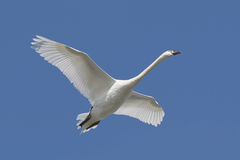 Mute Swan (Cygnus olor). In flight royalty free stock photography