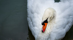 Mute Swan Cygnus Olor. Stock Photography