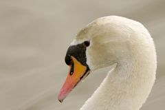 Mute Swan (Cygnus olor). Mute Swan head closeup with graceful neck arch stock images