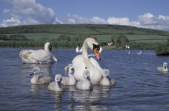 Mute swan, Cygnus olor Royalty Free Stock Photos