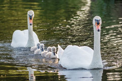 Mute Swan Cygnus olor adult and cute fluffy baby cygnets. Swimming together on a sunny day stock images