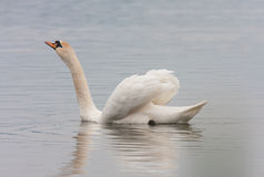 Mute swan (Cygnus olor). Against blue water Royalty Free Stock Images