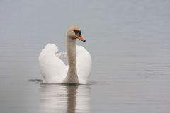 Mute swan (Cygnus olor). Against blue water Royalty Free Stock Photo