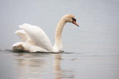 Mute swan (Cygnus olor). Against blue water Stock Image