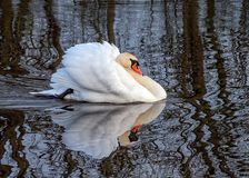Mute Swan - Cygnus olor in aggressive posture. A male or cob Mute Swan - Cygnus olor in aggressive posture on a Worcestershire lake stock photography