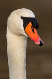 Mute swan - Cygnus olor Royalty Free Stock Images
