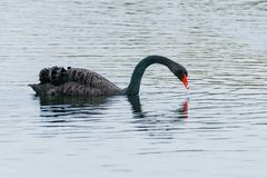 Black swan Cygnus atratus. Taken in United Kingdom royalty free stock photo