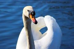 Mute swan (Cygnus olor). Royalty Free Stock Photography