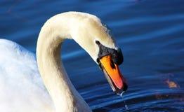 Mute swan (Cygnus olor). Royalty Free Stock Image