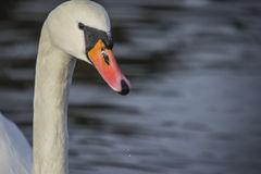 Mute swan (cygnus olor) closeup Royalty Free Stock Photography