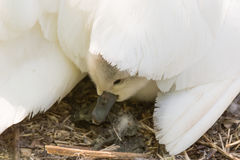 Mute swan & x28;Cygnus olor& x29; cygnet under mother& x27;s wing Royalty Free Stock Images