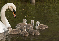 Mute swan cygnus olor and 7 cygnets Royalty Free Stock Image