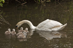 Mute swan cygnus olor and 7 cygnets Royalty Free Stock Photography