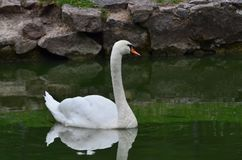 Mute swan. Cygnus olor. Cygnus olor. Mute swan on pond in Sofiyivka Park. Uman, Ukraine royalty free stock images