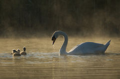 Mute Swan (Cygnus olor) at dawn Stock Photography