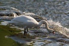 Mute swan & x28;Cygnus olor& x29; feeding on top of waterfall stock photo