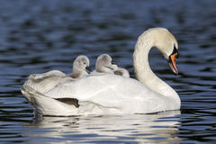 Mute swan, Cygnus olor. Female with young on back royalty free stock photos
