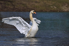 Mute Swan Cygnus olor flapping its wings Stock Photos
