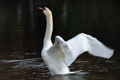 Mute swan Cygnus olor flapping wings stock photography