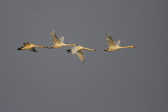 Mute Swan/Cygnus olor/. Stock Image