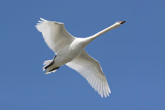 Mute Swan (Cygnus olor) In Flight. With a blue sky background stock photo