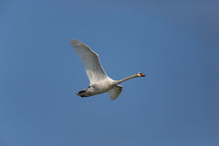 Mute swan Cygnus olor during flight Stock Images