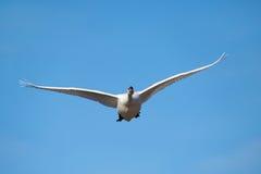 Mute swan (Cygnus olor) Royalty Free Stock Photo