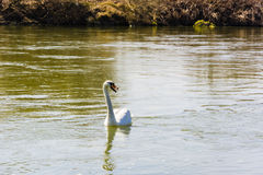 Mute Swan (Cygnus olor) floats on the river Stock Images