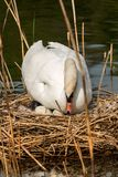 White Swan with Nest and Eggs. Mute swan Cygnus olor, while hatching the eggs in the nest made of reeds Royalty Free Stock Images