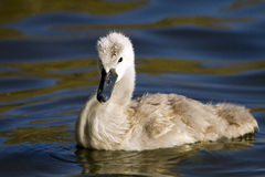 Mute swan (Cygnus olor) hatchling on water. A mute swan cygnet floats on the water at Poole park in Dorset, England royalty free stock photo