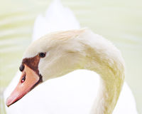 Mute Swan (Cygnus olor) head closeup with graceful neck arch Stock Image