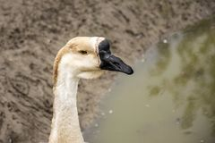 Mute swan Cygnus olor head royalty free stock photo