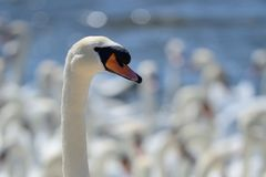 Mute swan cygnus olor. Head shot of a mute swan cygnus olor royalty free stock images