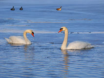 Mute Swan (Cygnus olor) - Illinois Royalty Free Stock Photos