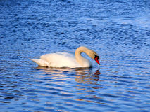 Mute Swan (Cygnus olor) Illinois Stock Photos