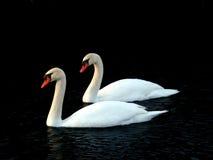 Mute Swan (Cygnus olor) Illinois Stock Image