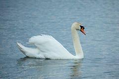 Mute swan (Cygnus olor) Stock Photos