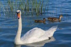 Mute swan (Cygnus olor) Stock Image