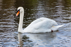 Mute Swan (Cygnus olor) in lake Royalty Free Stock Image