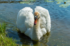 Mute swan (Cygnus olor) on the lake Stock Photos