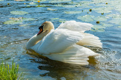 Mute swan (Cygnus olor) on the lake Royalty Free Stock Photography