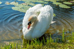 Mute swan (Cygnus olor) on the lake Stock Photography