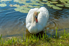 Mute swan (Cygnus olor) on the lake Stock Images