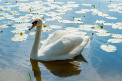 Mute swan (Cygnus olor) on the lake Stock Image