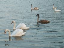 Mute swans on the lake stock image