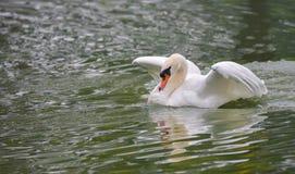 Mute swan Cygnus olor lands on the water, brings down his wings. Stock Image