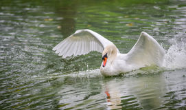 Mute swan Cygnus olor lands on the water, wings spread. Royalty Free Stock Photo