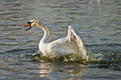 Mute swan cygnus olor Royalty Free Stock Photo