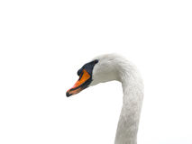 Mute swan - cygnus olor - looking out Stock Images