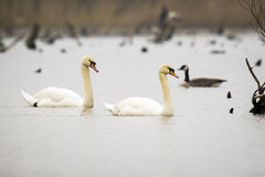 Mute swan (Cygnus olor) in the mist Royalty Free Stock Image